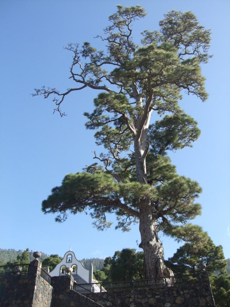 Большая сосна (возраст около 800 лет)